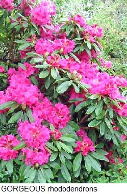 Rhododendron-flowers