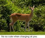Deer_spotlight