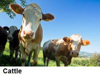Cattle_2